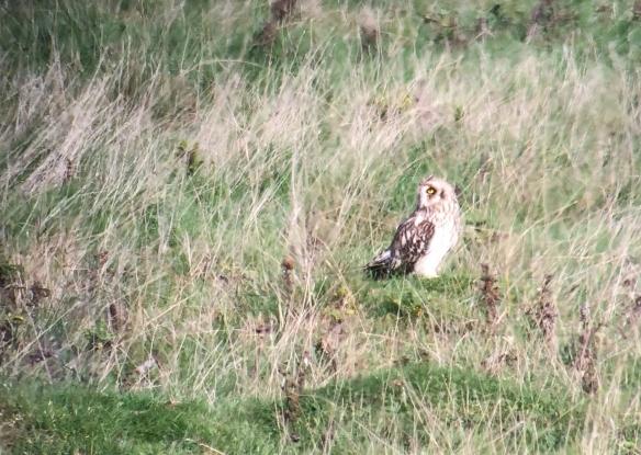 Short eared owl on the main marsh
