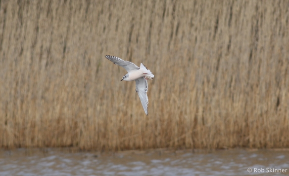 Juv. Little gull - Deeps (5th April)